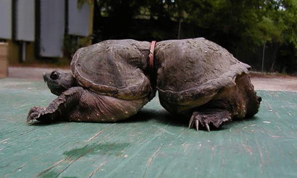 Turtle.nojavanha