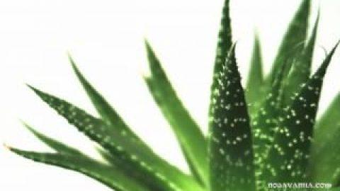 آیا گیاه آلوئه ورا برای پوست مفید است؟