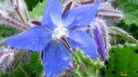 خواص گیاه گل گاو زبان