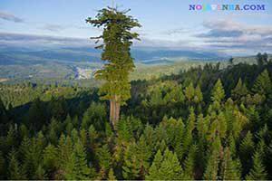 بلندترین درخت دنیا