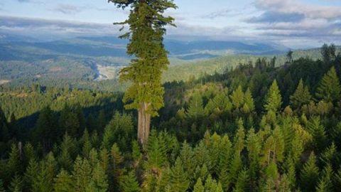 عکاسی از بلندترین درخت دنیا