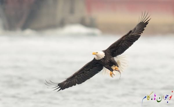Bald-Eagle-In-Flight-With-A-Catch