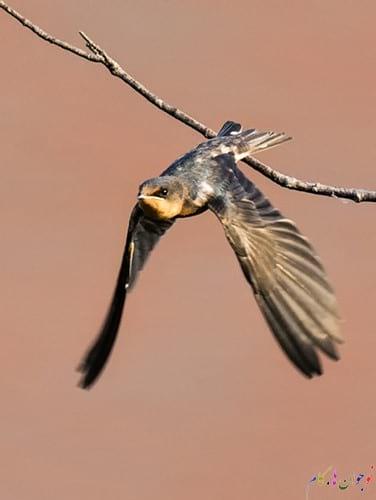 Barn-Swallow-Taking-Off