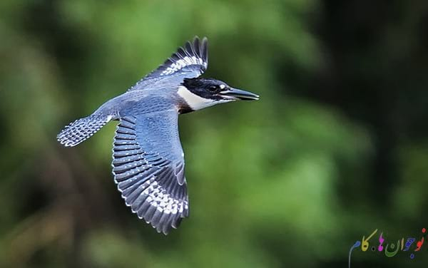 Belted-Kingfisher-In-Flight1