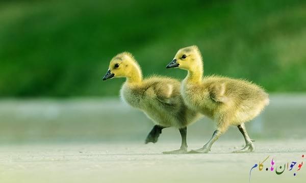Goslings-Crossing-The-Road1