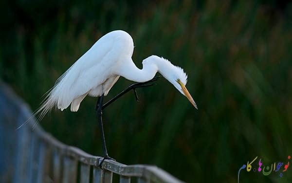 Great-Egret-Behavior