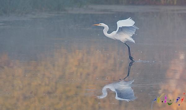 Great-Egret-Taking-Off-Early-Misty-Morning