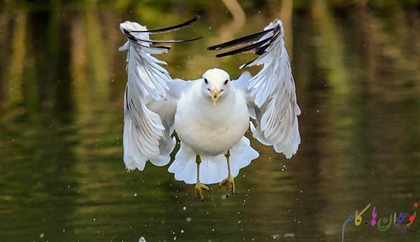 Seagull-The-Eagle1