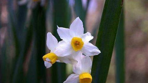 در مورد گل نرگس بیشتر بدانید