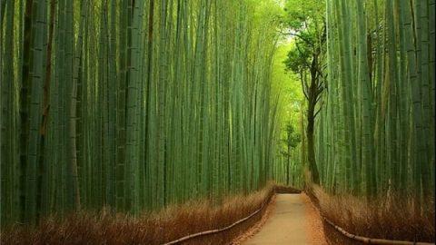 جنگل بامبو در ژاپن