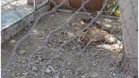 ورود دو روباه به مدرسه دخترانه