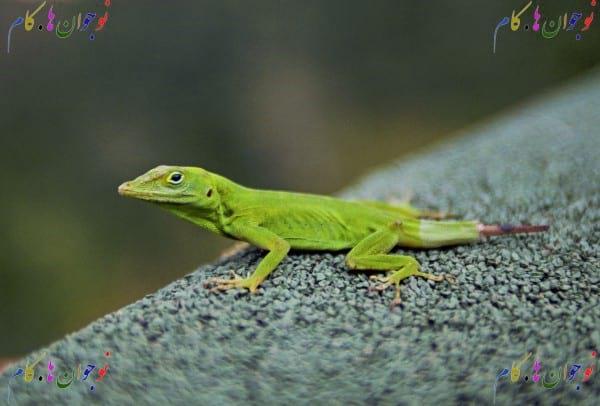 Lizard.nojavanha