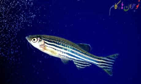 Zebrafish.nojavanha