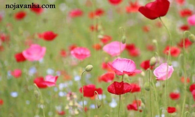 flower.nojavanha-1-630x378