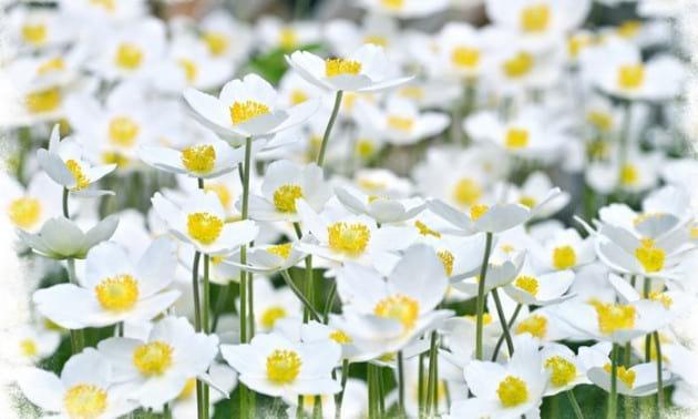 flower.nojavanha (10)