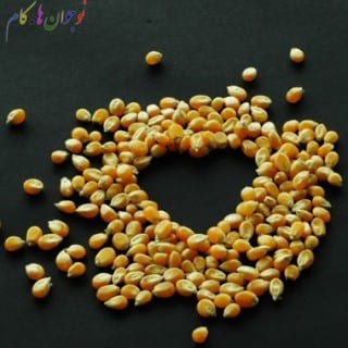 Corn-nojavanha (3)