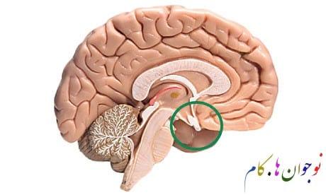 Parts of the brain9 nojavanha.jpg