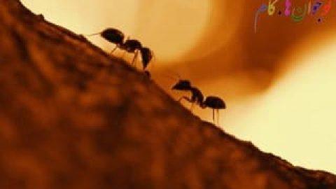 کند شدن سرعت گرمایش جهانی با کمک مورچه ها