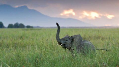 بیشترین ژن بویایی در فیل ها است