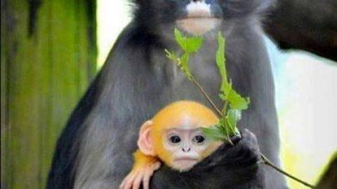 میمونی شگفت انگیز در میانمار