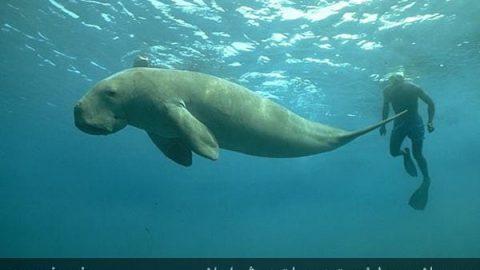 گاو دریایی (گوکین) پستاندار کمیاب و در معرض انقراض آب های جنوبی ایران