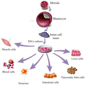 سلول های بنیادین