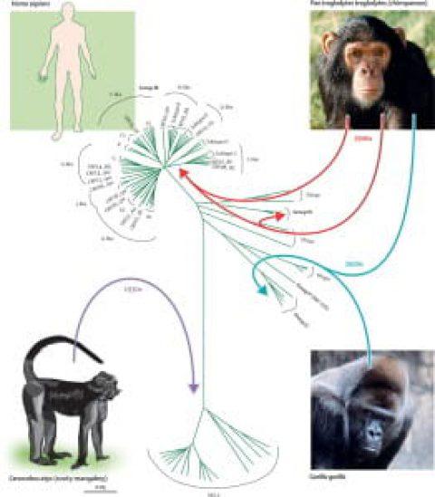 ارتباط انسان با میمون