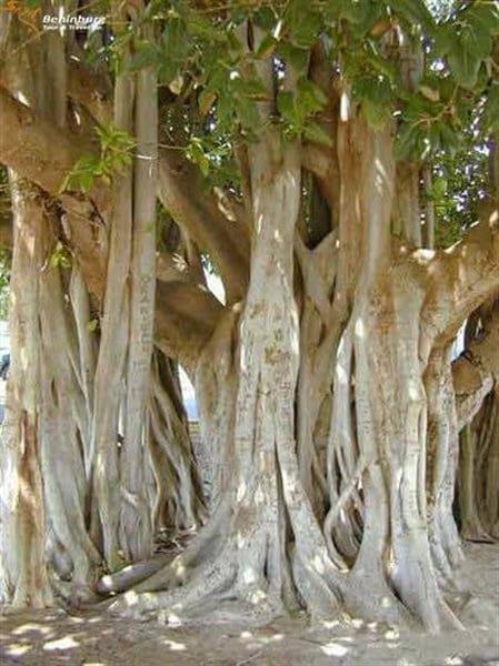 درختی که قاتل دیگر درخت هاست