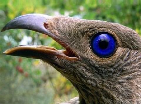 آلاچیق فوق العاده زیبایی که این پرنده برای جفتش می سازد
