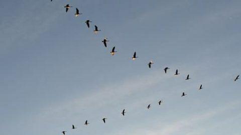 دلیل پرواز پرندگان مهاجر به صورت V شکل کشف شد