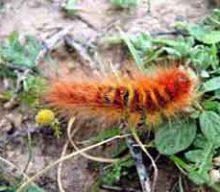 گربه نوروزی یا پروانه های رنگی