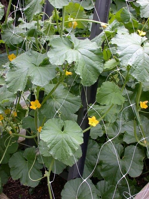 گلهای زرد بوته طالبی (8)