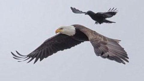 تصویر نایاب از عقاب سواری یک کلاغ