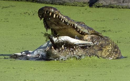 تمساح (3)