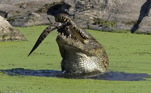 تمساح (6)