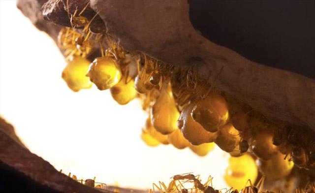 مورچه عسل (1)