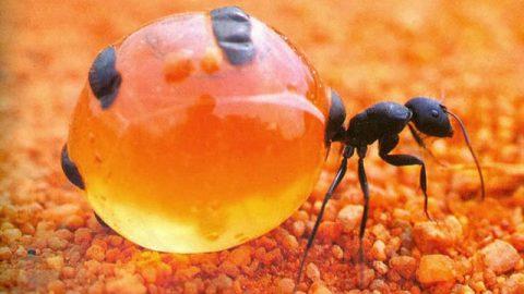 مورچه عسل