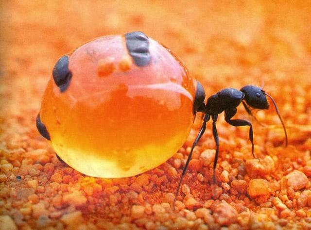 مورچه عسل (2)