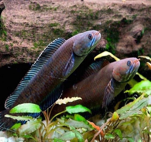 میمون عطسه کن و ماهی راه رونده در هیمالیا یافت شدند!