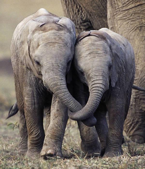 رفاقت فیل ها