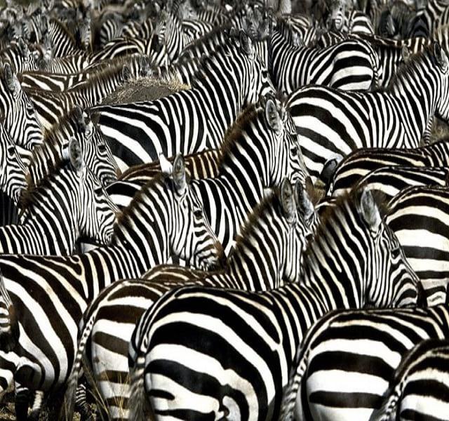 مهاجرت حیوانات (17)