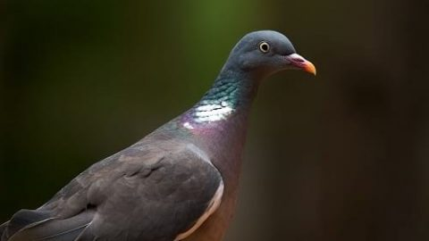 راز بازگشت کبوترها