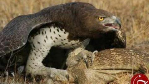 عقابی که به تصویر بردار هم رحم نمی کند!