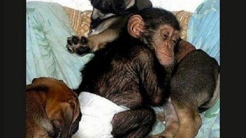 سگی که مادر شامپانزه شد!