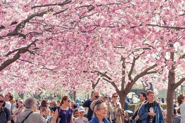 کجارو؛ ۱۰ جشنواره شکوفه گیلاس در سال ۲۰۱۶