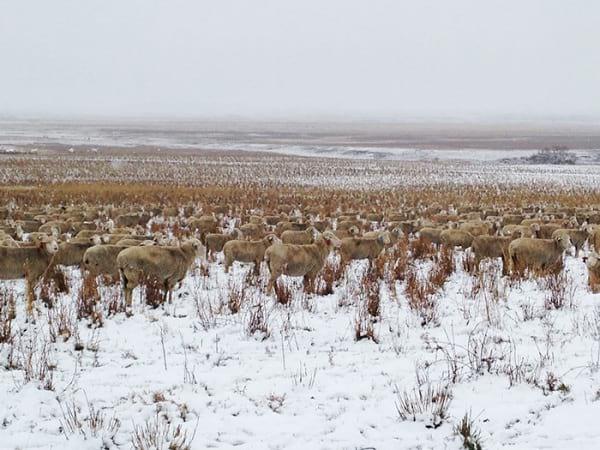 پیدا کردن گوسفندان (4)