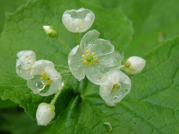 گلی که شفاف می شود (1)