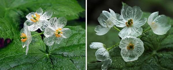 گلی که شفاف می شود (2)