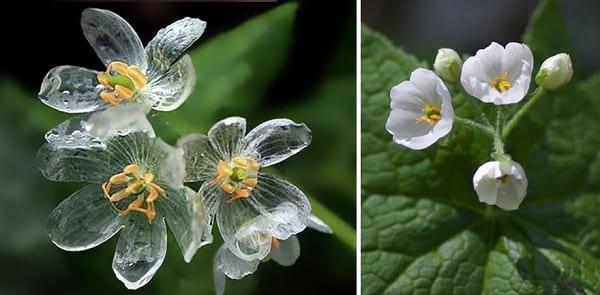 گلی که شفاف می شود (4)