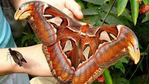 بزرگترین پروانه جهان
